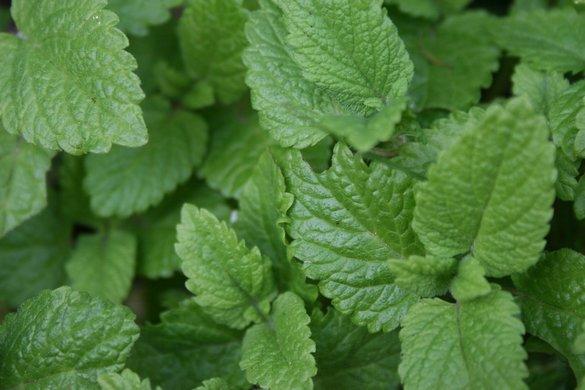 Melissenblätter 25g für Teezubereitung